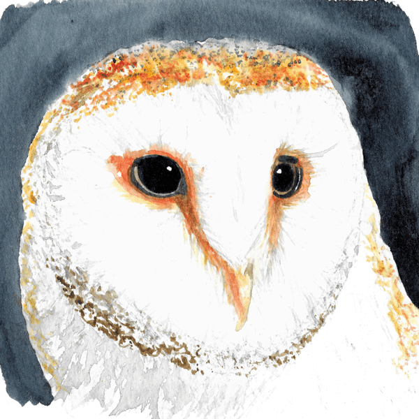 Barn Owl by Night